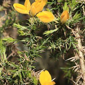 Ulex baeticus subsp. baeticus Boiss.