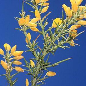 Ulex parviflorus subsp. parviflorus Pourr.