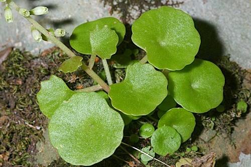 Umbilicus gaditanus Boiss.