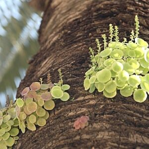 Umbilicus rupestris (Salisb) Dandy
