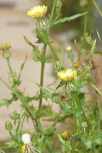 Urospermum picroides (L.) Scop. ex F.W. Schmidt