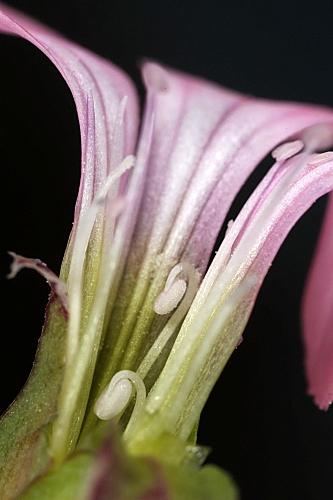 Vaccaria hispanica (Mill.) Rauscher.
