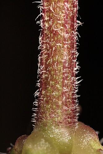 Valantia hispida L.