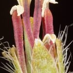 Vella castrilensis Vivero, Prados, Hern.–Berm., M. B. Crespo, S. Ríos & Lledó