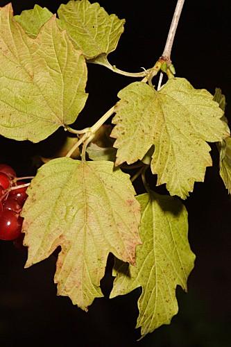 Viburnum lantana L.