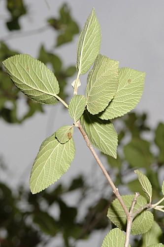 Viburnum opulus L.