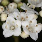 Viburnum tinus L.
