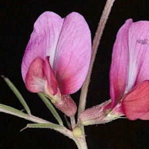 Vicia angustifolia L.