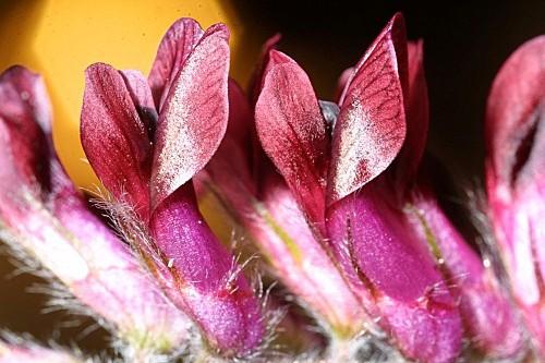 Vicia benghalensis L.