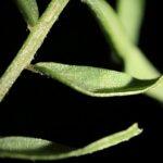 Vicia hirsuta (L.) Gray