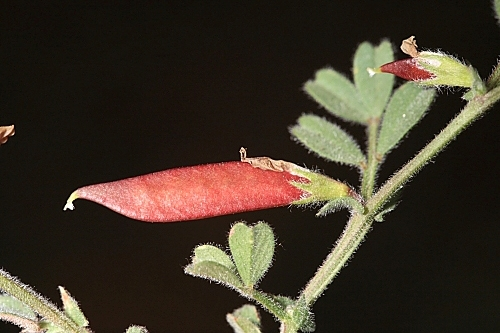 Vicia lathyroides L.