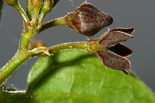 Vincetoxicum nigrum (L.) Moench