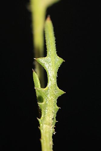 Volutaria tubuliflora (Murb.) Sennen