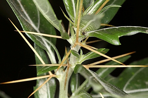 Xanthium spinosum L.