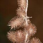 Xanthium strumarium L.