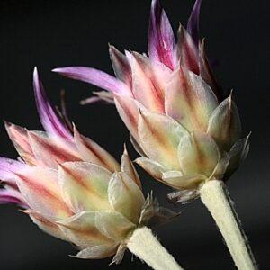 Xeranthemum inapertum (L.) Mill.