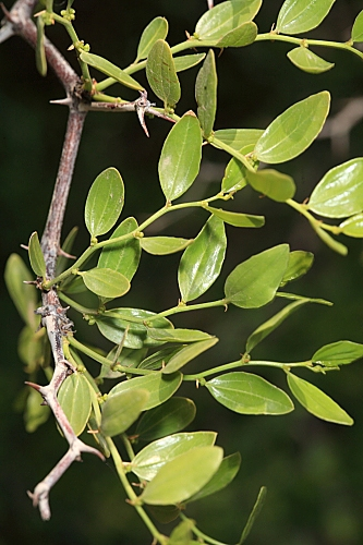 Ziziphus lotus (L.) Lam.