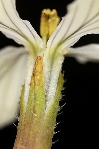 Raphanus raphanistrum subsp. raphanistrum L.