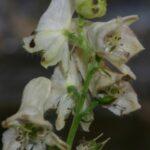 Aconitum vulparia subsp. neapolitanum (Ten.) Muñoz Garm. ex Molero & C. Blanché