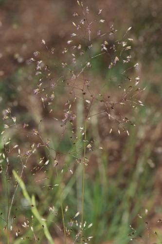Agrostis delicatula Pourr. ex Lapeyr.