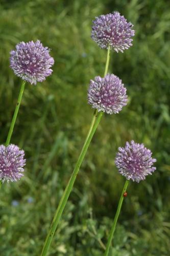 Allium ampeloprasum L.