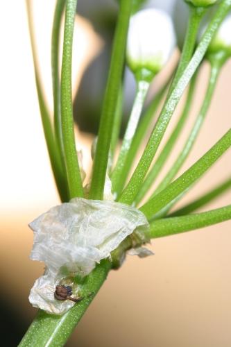 Allium neapolitanum Cirillo