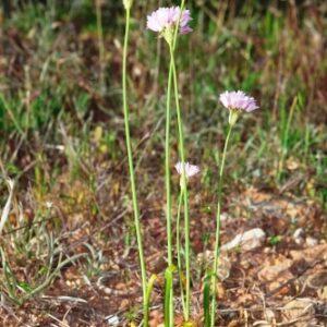 Allium roseum L.