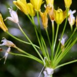 Allium scorzonerifolium DC.