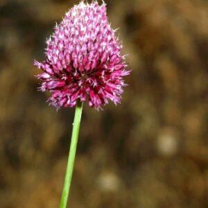 Allium sphaerocephalon L.