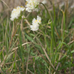 Allium subvillosum Schultes & Schultes fil.
