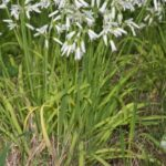 Allium triquetrum L.