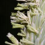 Ammophila arenaria (L.) Link