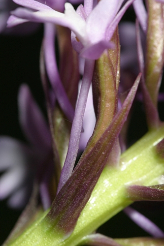 Anacamptis pyramidalis (L.) Rich.