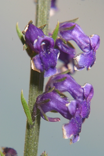 Anarrhinum bellidifolium (L.) Willd.