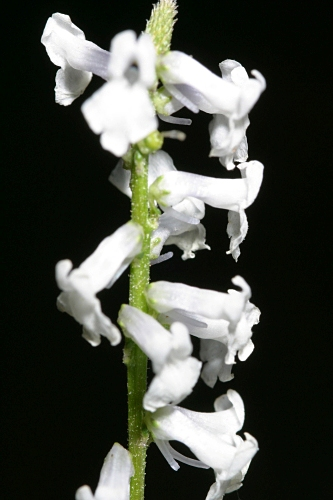Anarrhinum laxiflorum Boiss.