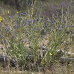 Anchusa calcarea subsp. losadae (Valdés) Valdés