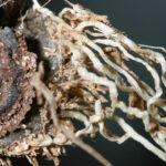Androcymbium gramineum (Cav.) Macbride