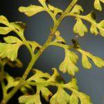 Anogramma leptophylla (L.) Link