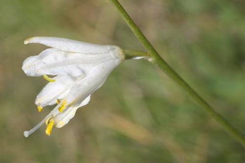 Anthericum baeticum (Boiss.) Boiss.