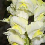Antirrhinum braun-blanquetii Rothm.