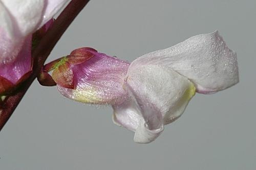 Antirrhinum onubense (Fern. Casas) Fern. Casas