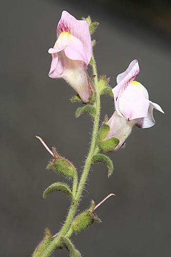 Antirrhinum hispanicum Chav.