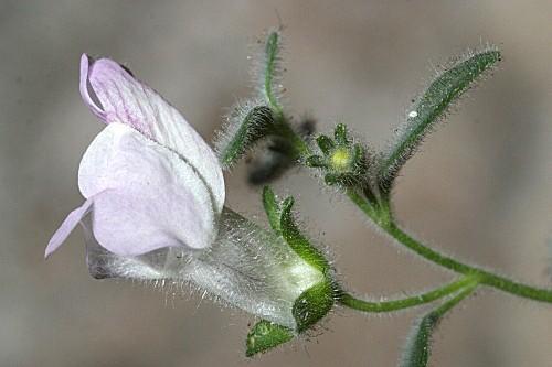 Antirrhinum mollissimum (Pau) Rothm.