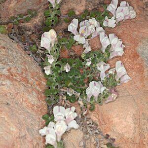 Antirrhinum pulverulentum Lázaro Ibiza