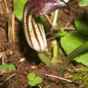 Arisarum simorrhinum Durieu