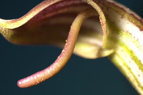Arisarum vulgare Targ.-Tozz.