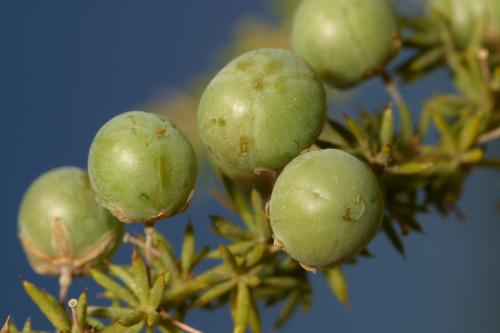 Asparagus acutifolius L.