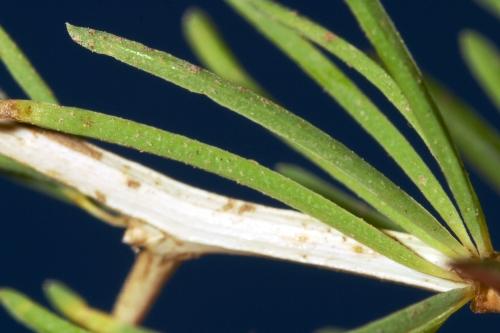 Asparagus albus L.