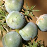 Asparagus aphyllus L.