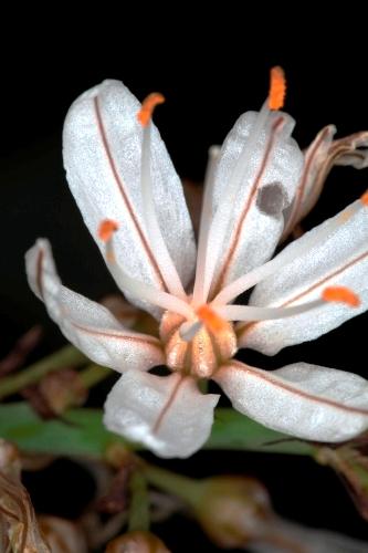 Asphodelus albus subsp. villarsii (Verlot ex Billot) B. K. Richardson & Smythies